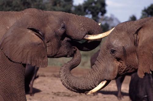 Elephant-tusks kruger park