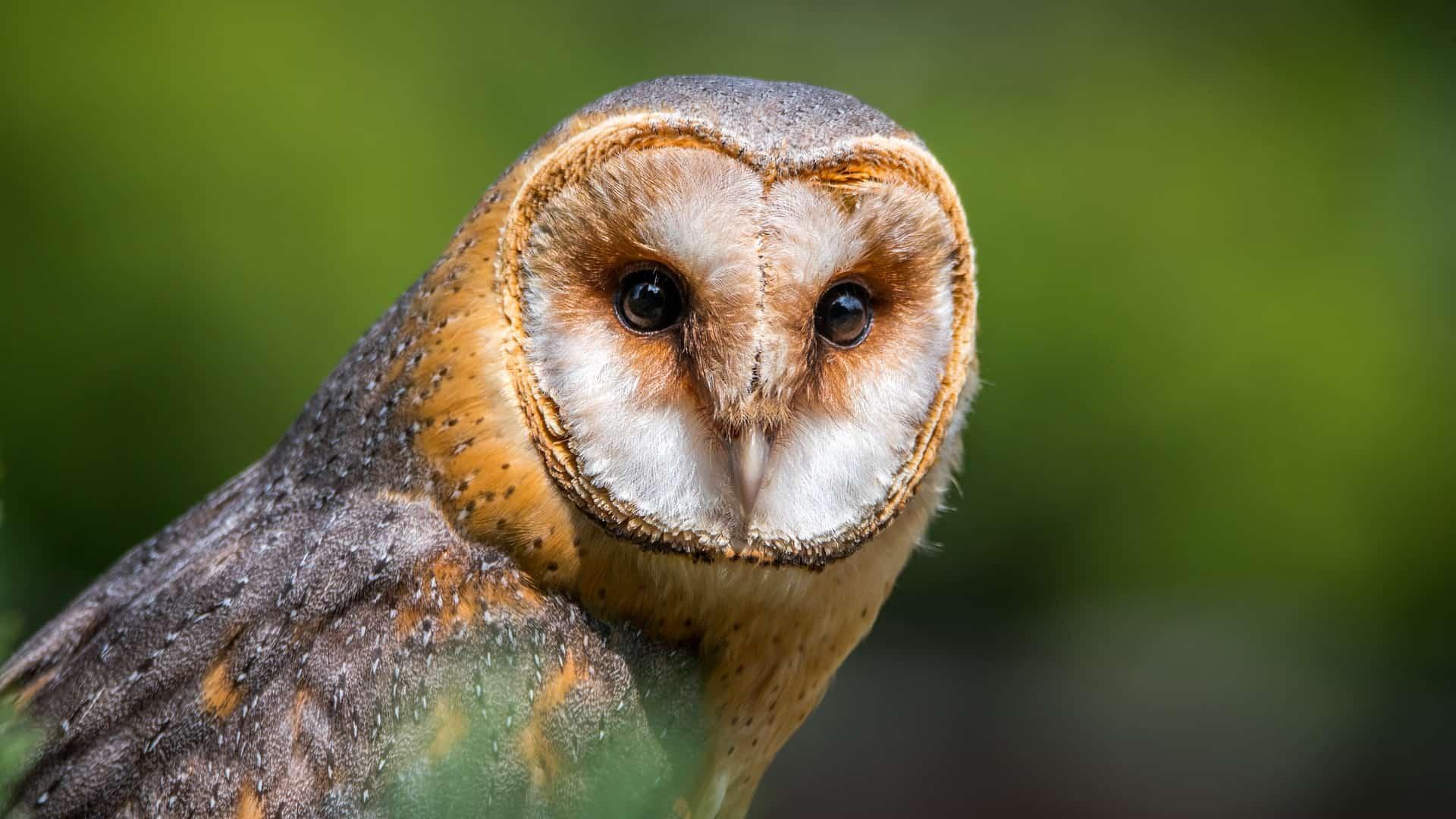Barn Owl Kruger