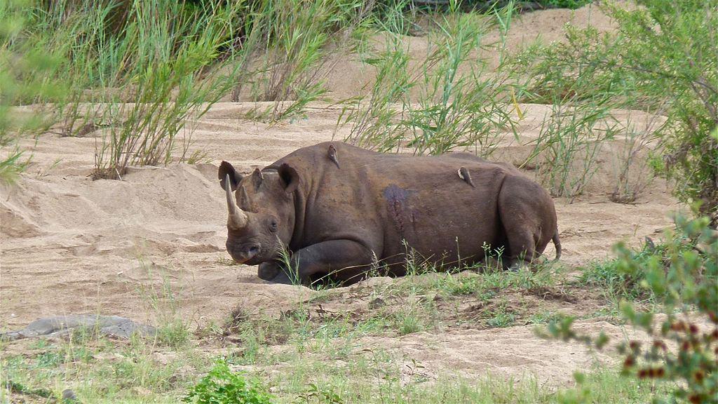 Black-Rhino-Lower-Sabie