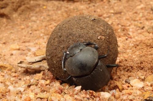 Dung beetle kruger