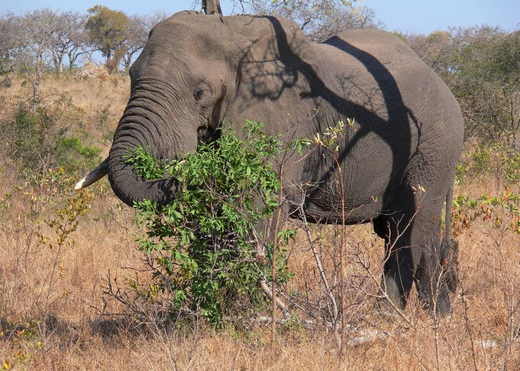 Elephant (1) kruger safari