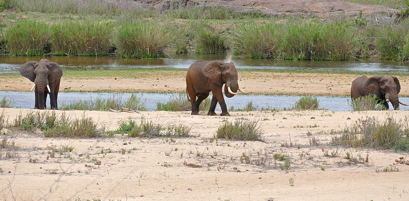 Elephants-on-the-sabie-river-bed