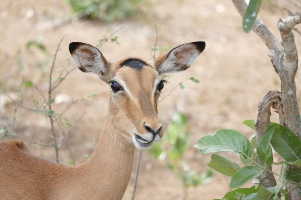 Impala kruger park safari