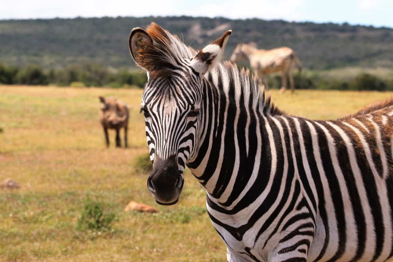 Kruger-National-Park-safaris-zebra (1)