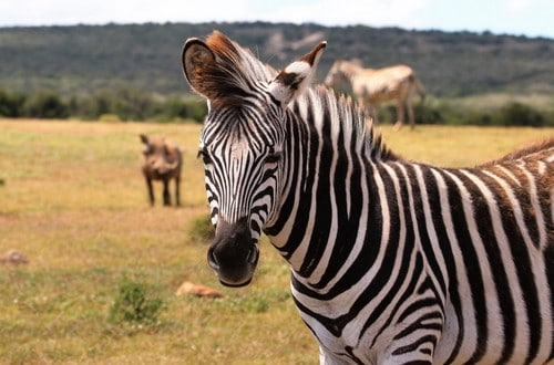 Kruger National Park safaris zebra