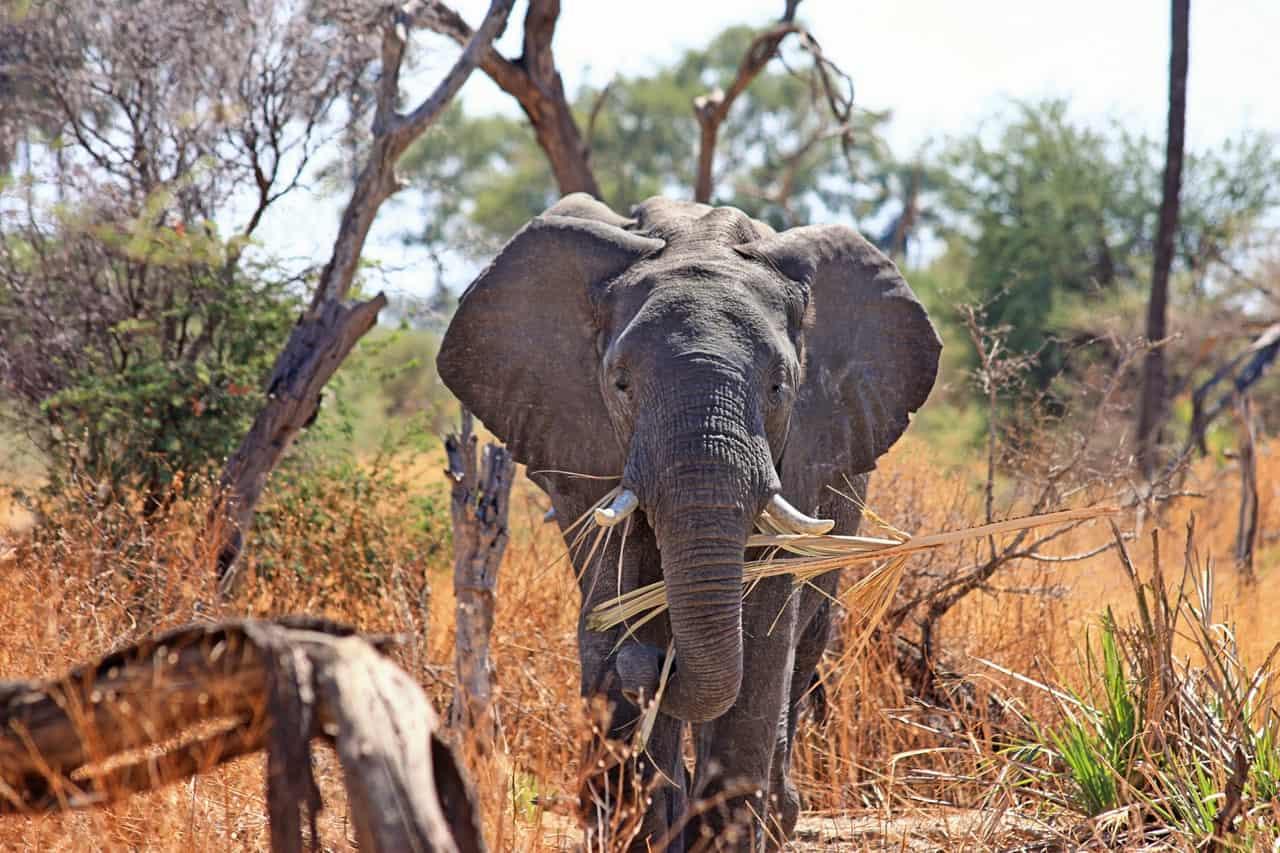 Kruger Park safari elephant with grass