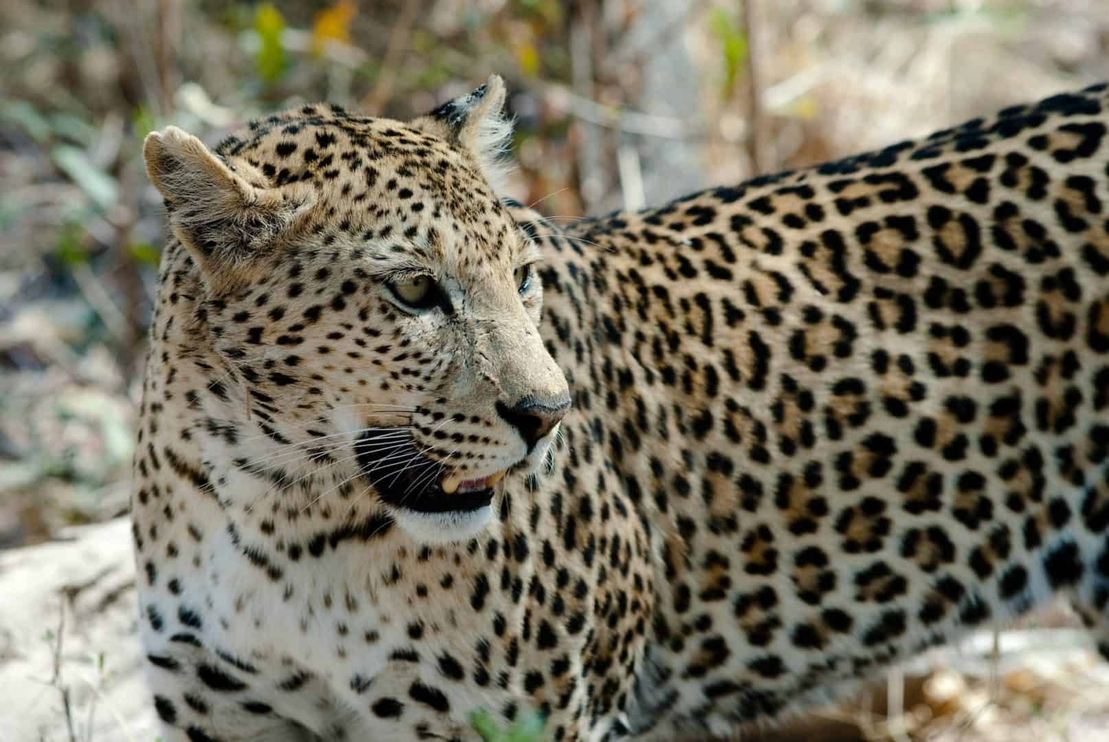 Leopard-can-be-seen-on-Kruger-National-Park-safaris