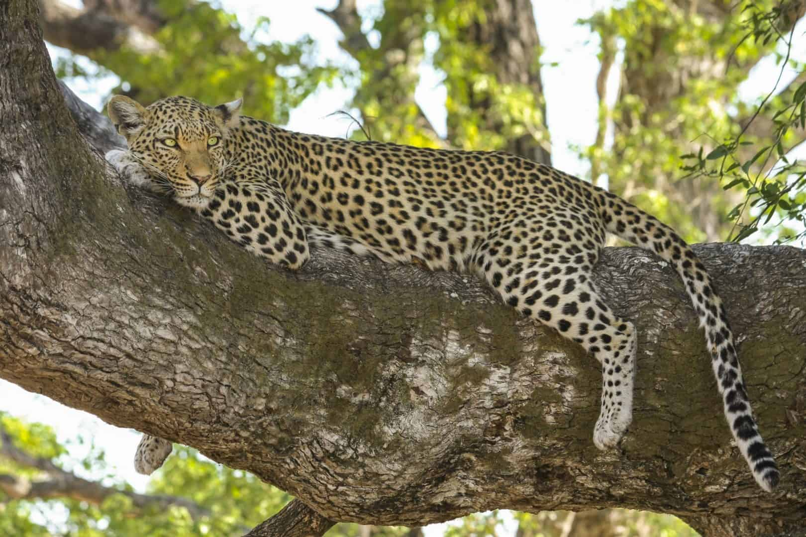 Leopard kruger park safaris