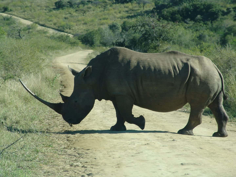 Rhino-Kruger-Park-Drives (1)