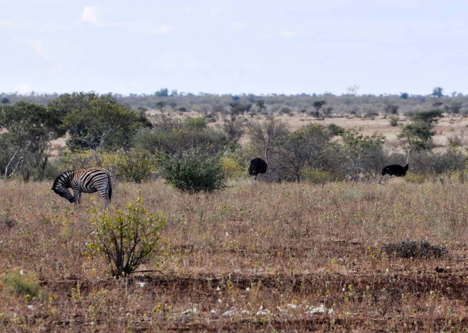 Surrounds of satara Safari