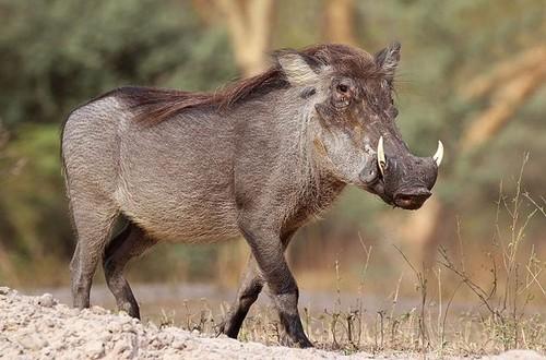 Warthog Kruger Day Tours