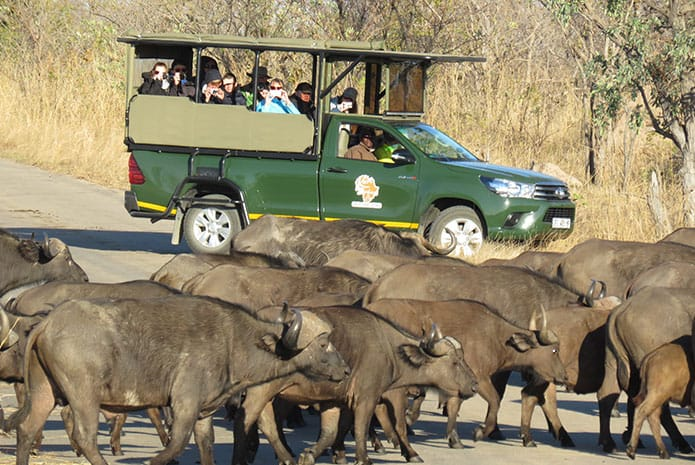 kruger park safaris buffalo