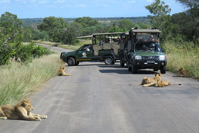 kruger park safaris lion chilling