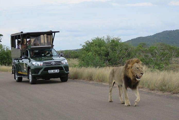 kruger parks afaris lion walking