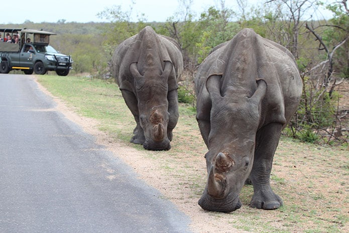 kruger park safaris open car rhinos