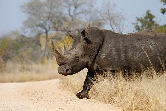kruger park safaris rhino