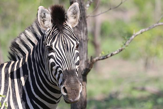 kruger park safaris zebra