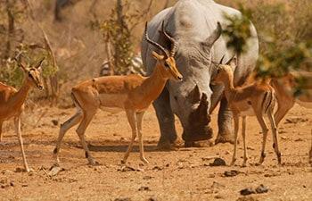 Kruger park safari