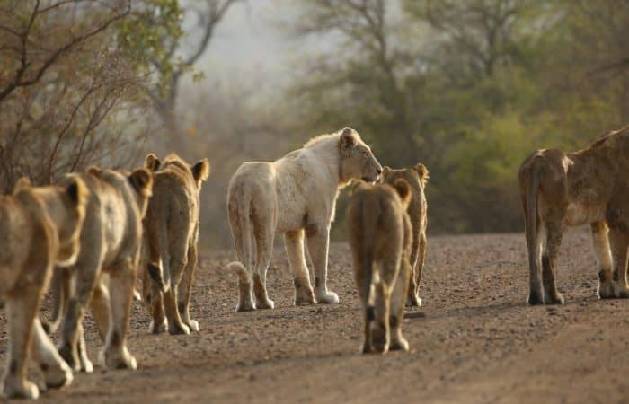 Afternoon kruger safari