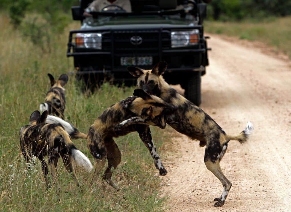 south africa kruger national park safari