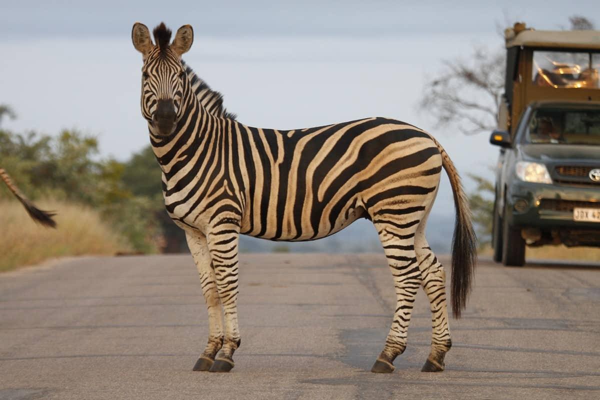 krüger nationalpark safari tour
