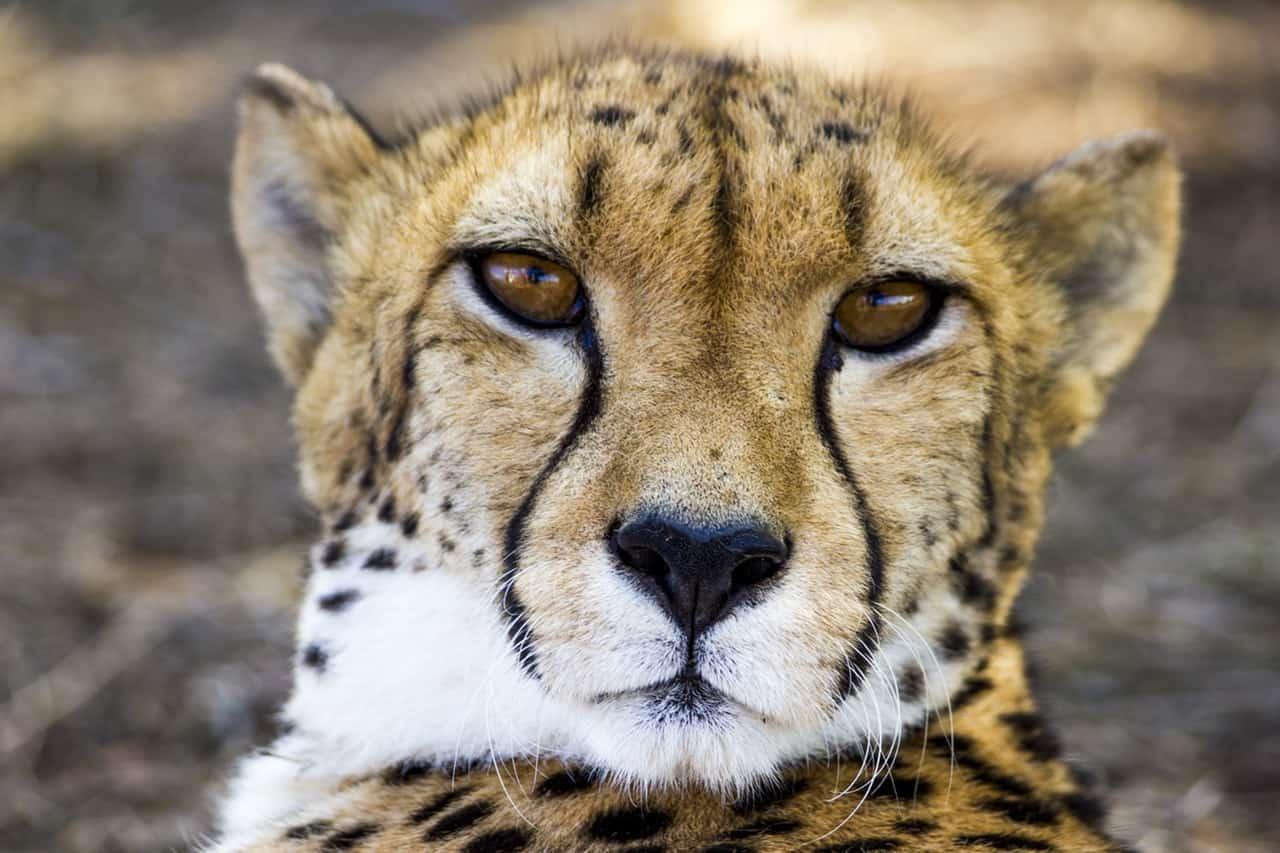 cheetah Kruger Park safari