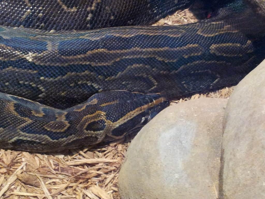 Kruger National Park safaris African Rock Python
