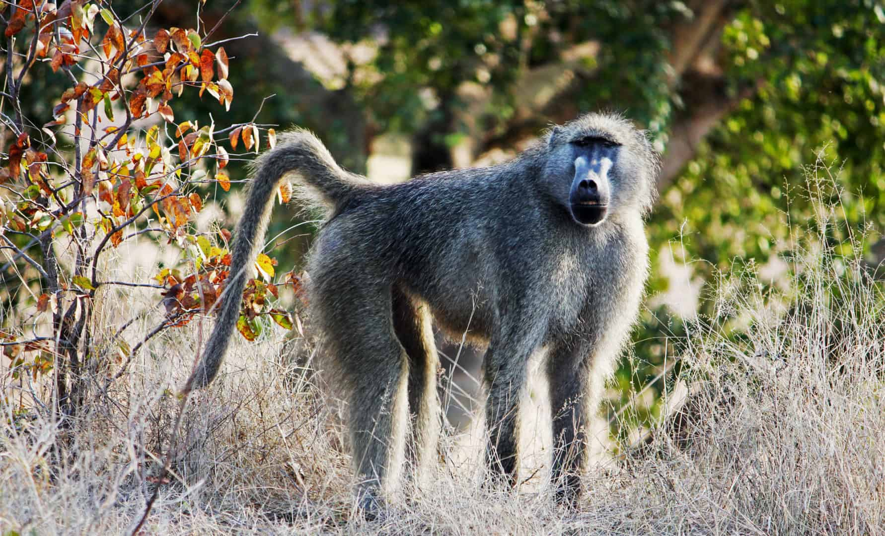 bow-hunting-baboons-south-africa