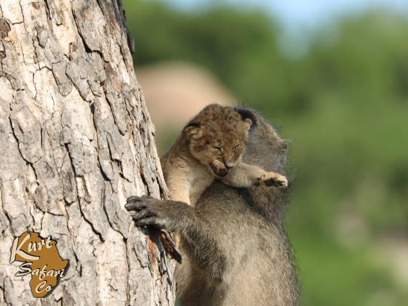kruger park animal sighting