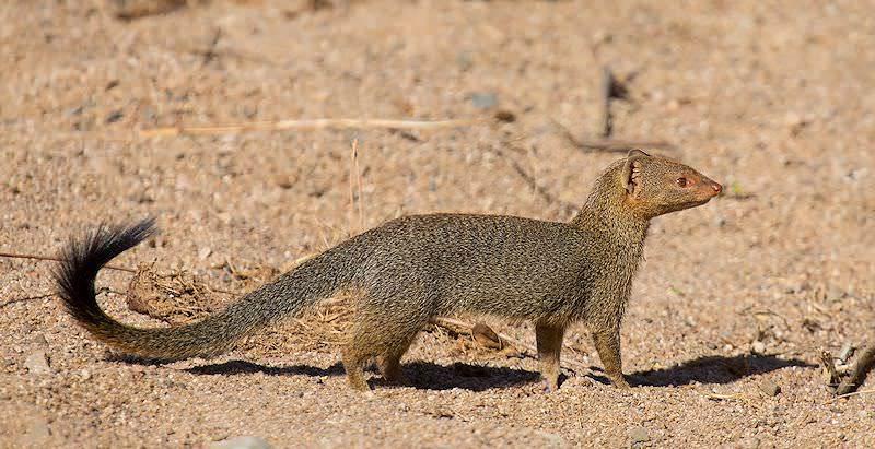 slender-mongoose