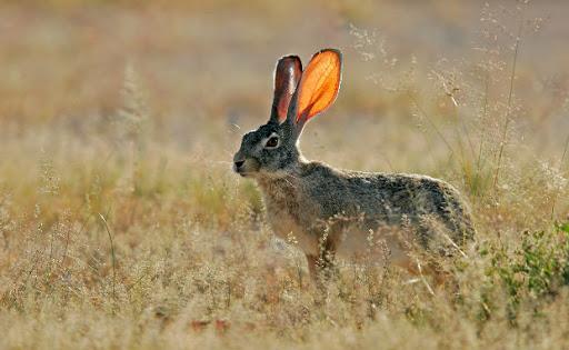 Scrub-Hare