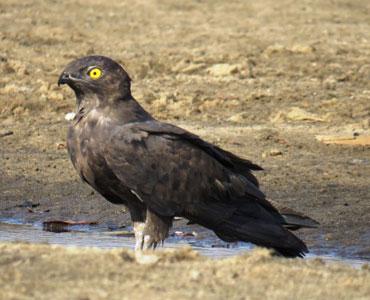 Bat-Hawk-Kruger National Park