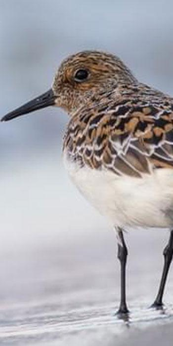 Sanderling kruger National Park