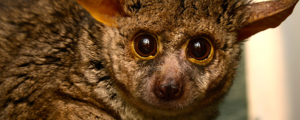 Thick Tail-Bushbaby