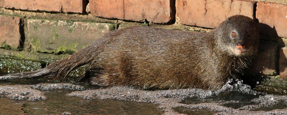 Water-Mongoose