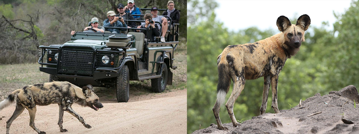Wild dogs in the Kruger Park