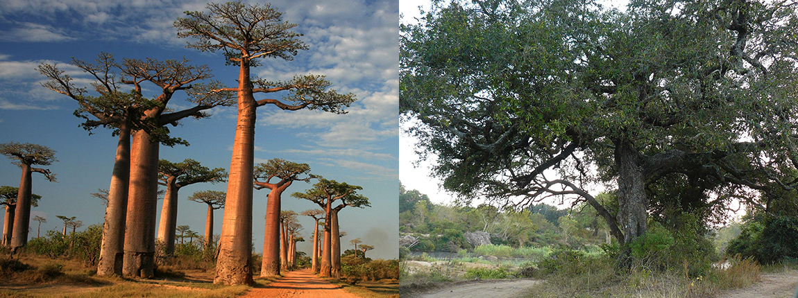 Trees in the Kruger national park